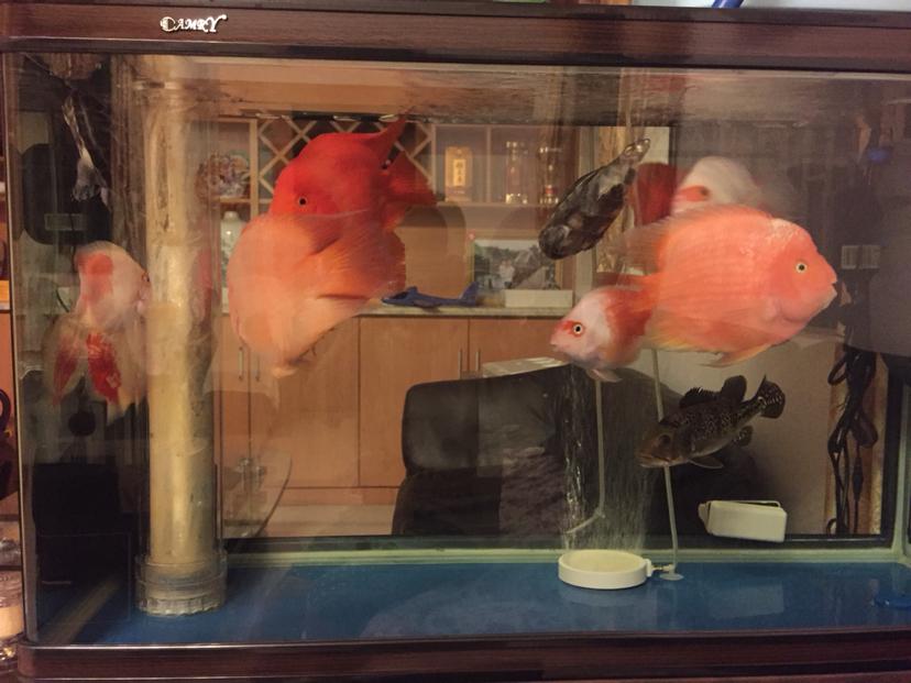 上来浮一下头延安鱼缸批发市场鹦鹉鱼 延安龙鱼论坛 延安龙鱼第5张