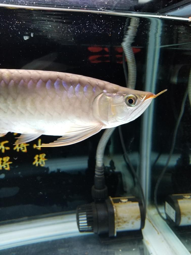 这鱼是不是要红了? 西安观赏鱼信息 西安博特第1张