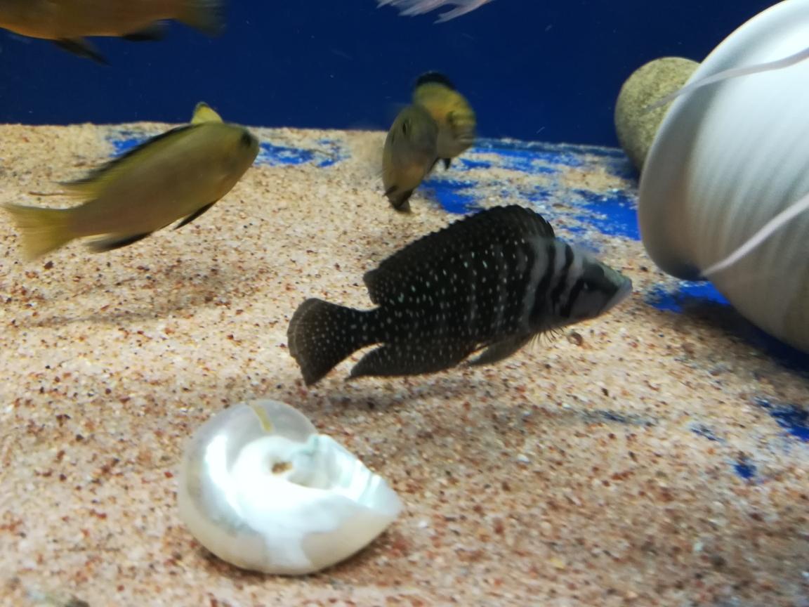漂亮的黑喷鹦鹉鱼 合肥观赏鱼 合肥龙鱼第1张