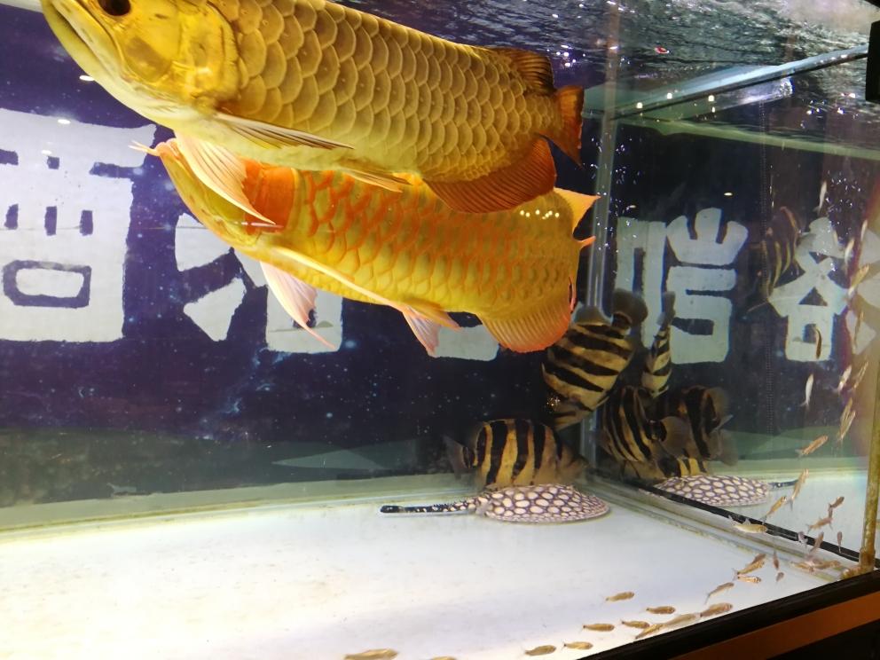 出门比赛几天买两斤鲮鱼给鱼儿们做自助餐 温州水族批发市场 温州龙鱼第4张