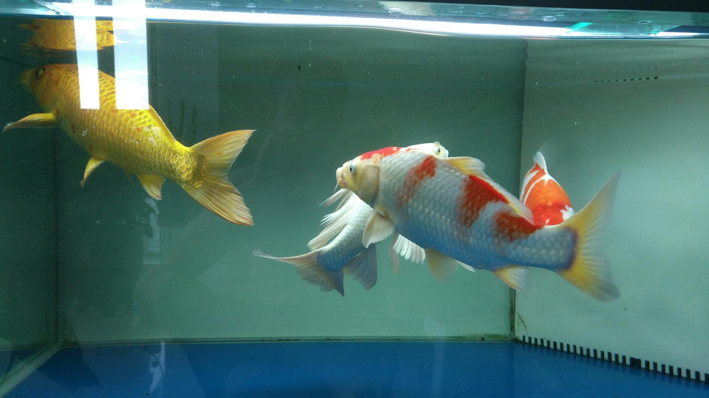 台州女王大帆帮忙看看我的红白锦鲤红色变白怎么回事 台州水族批发市场 台州水族批发市场第5张