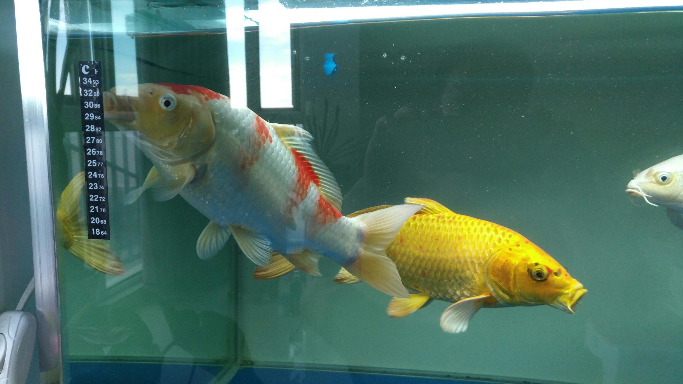 台州女王大帆帮忙看看我的红白锦鲤红色变白怎么回事
