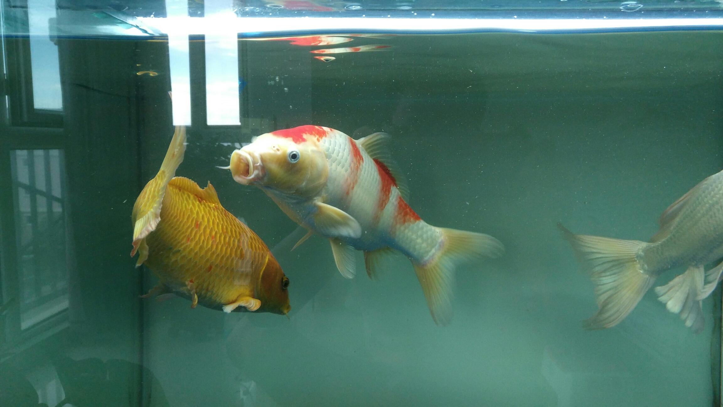 台州女王大帆帮忙看看我的红白锦鲤红色变白怎么回事 台州水族批发市场 台州水族批发市场第3张