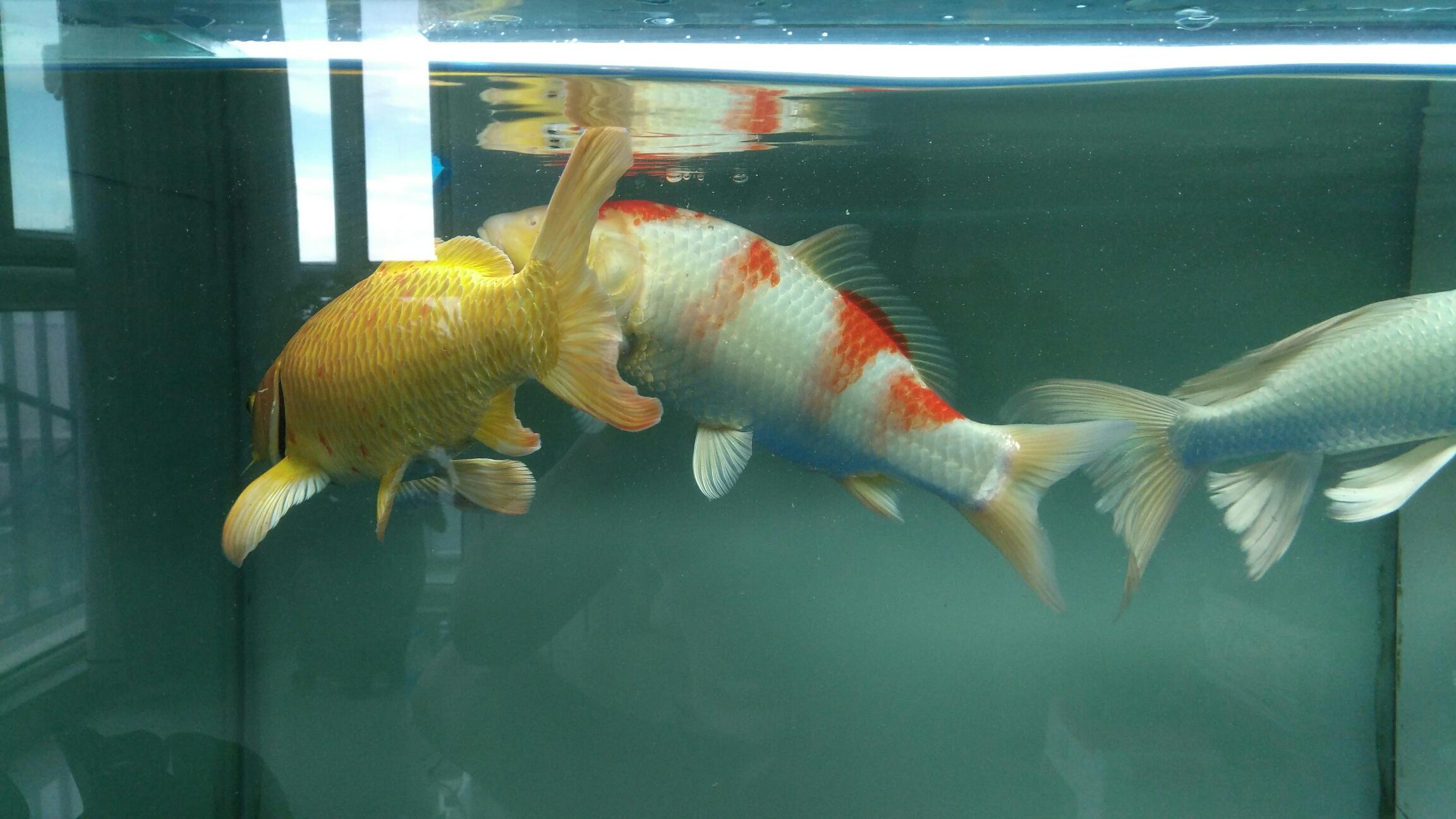 台州女王大帆帮忙看看我的红白锦鲤红色变白怎么回事 台州水族批发市场 台州水族批发市场第4张
