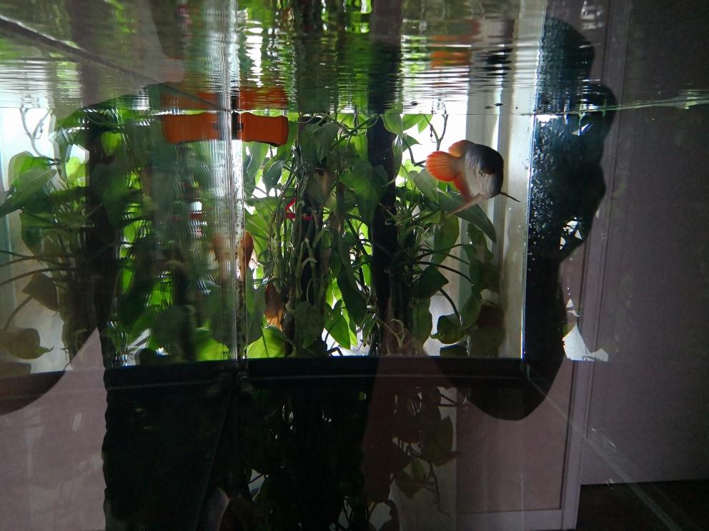 恢复单养后好久不晒了 观赏鱼常见疾病 祥龙鱼场