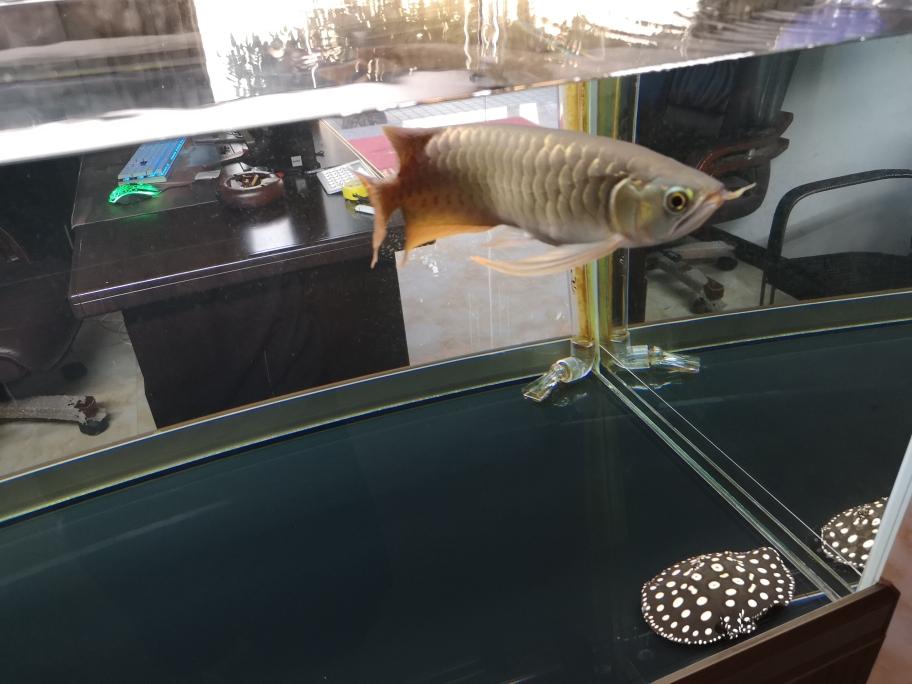 我的宠爱龙鱼 呼和浩特龙鱼论坛 呼和浩特龙鱼第3张