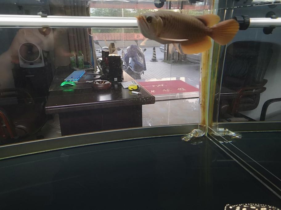 我的宠爱龙鱼 呼和浩特龙鱼论坛 呼和浩特龙鱼第5张