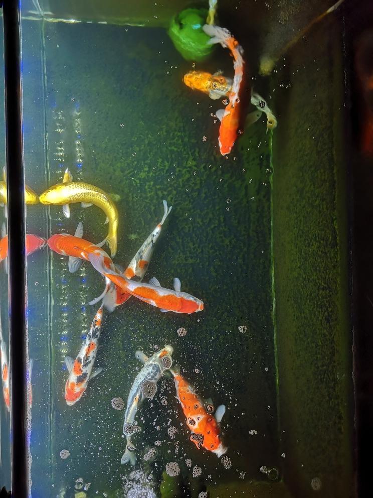 晒下俯视图锦鲤 西宁龙鱼论坛 西宁龙鱼第2张