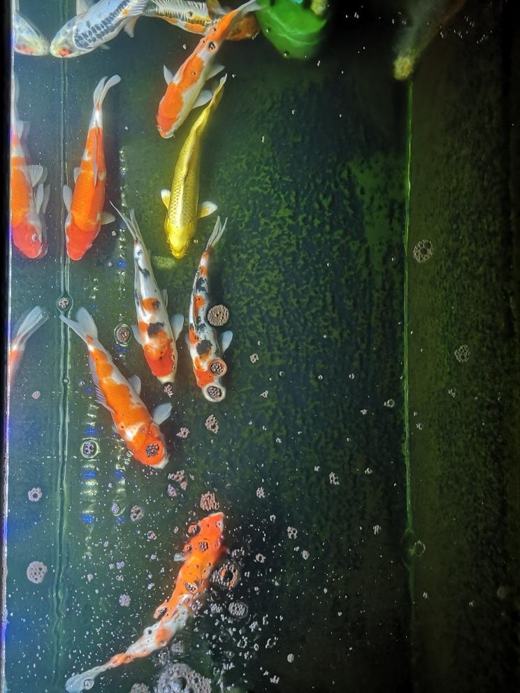晒下俯视图锦鲤 西宁龙鱼论坛 西宁龙鱼第1张