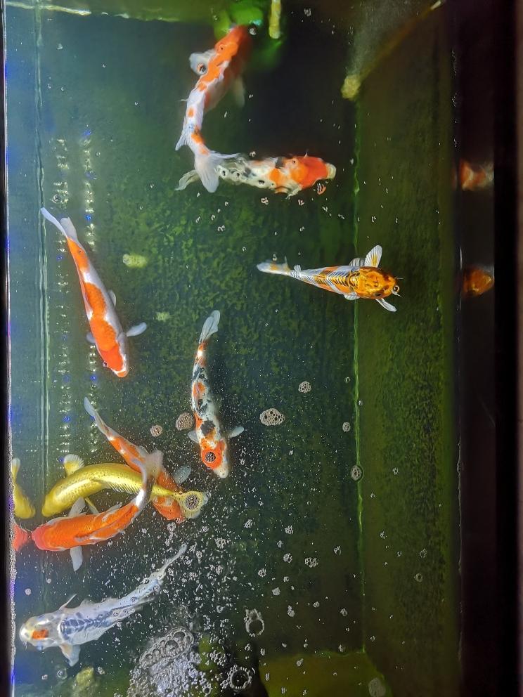 晒下俯视图锦鲤 西宁龙鱼论坛 西宁龙鱼第3张