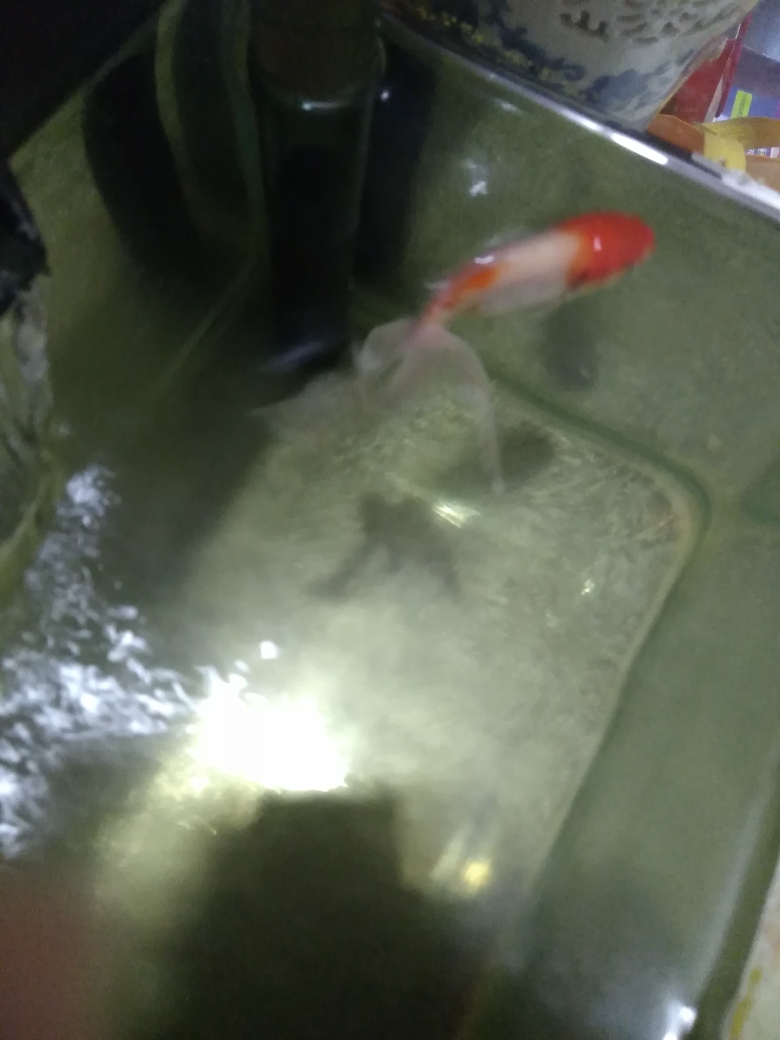 金鱼身上长白毛了怎么办哈尔滨哈尔滨鱼饲料批发市场 哈尔滨水族批发市场 哈尔滨龙鱼第1张