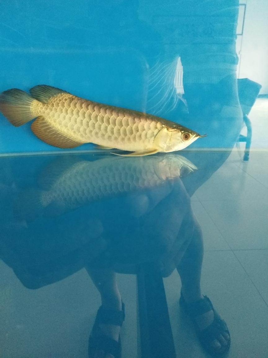 初养鱼请前辈们看看这是渭南蓝底过背龙鱼不是条金龙鱼 渭南水族批发市场