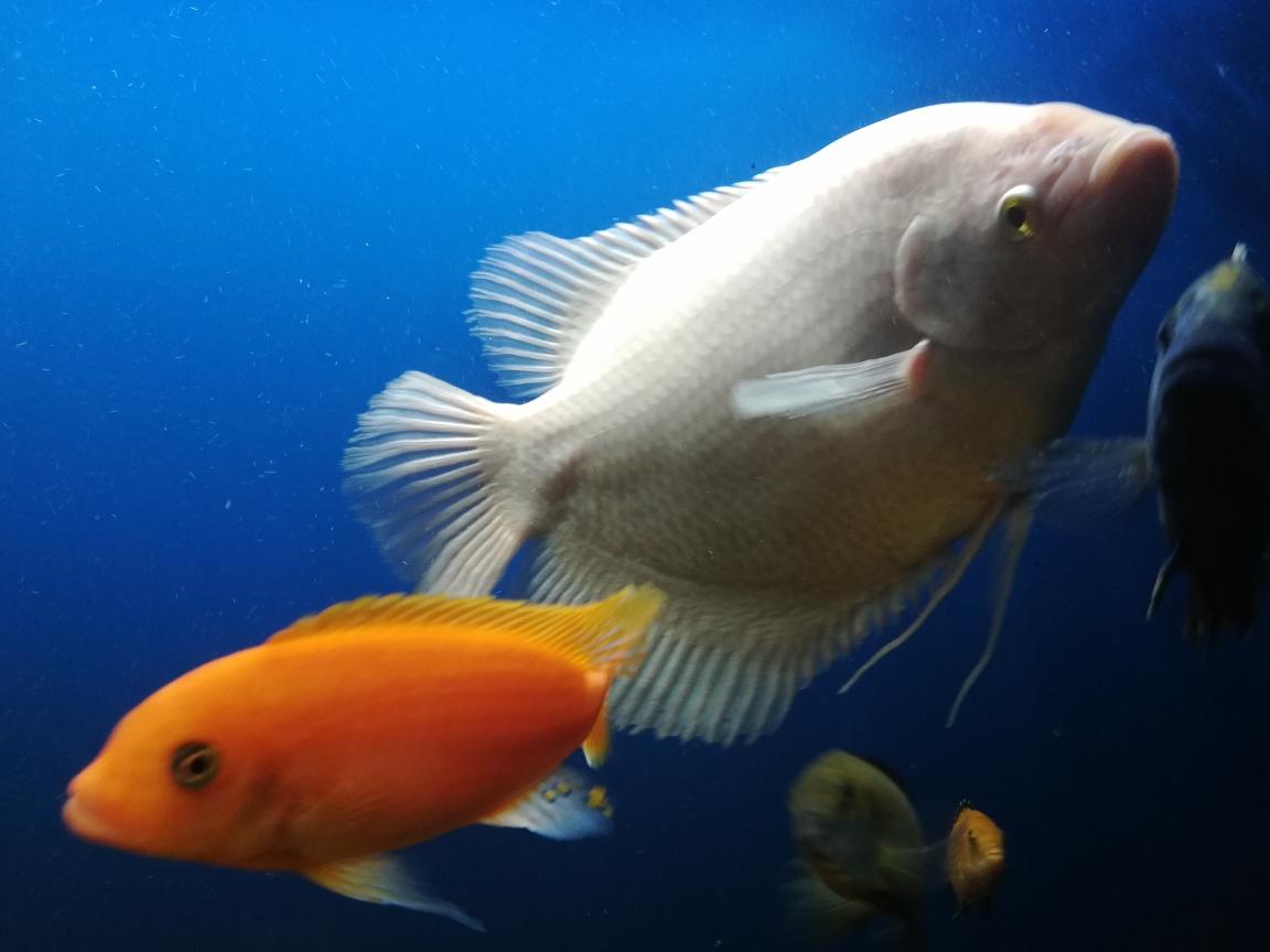 不对称的美鹦鹉鱼 合肥观赏鱼