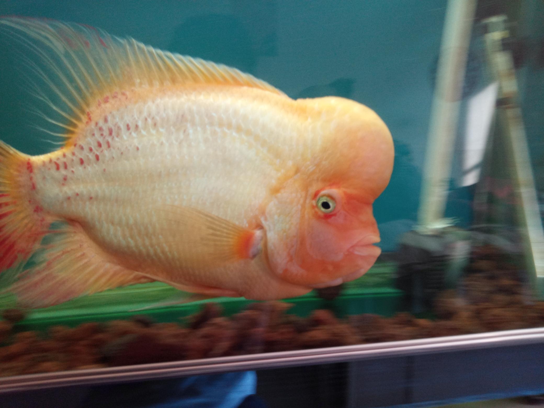 自繁金花记录罗汉鱼 合肥观赏鱼 合肥龙鱼第1张