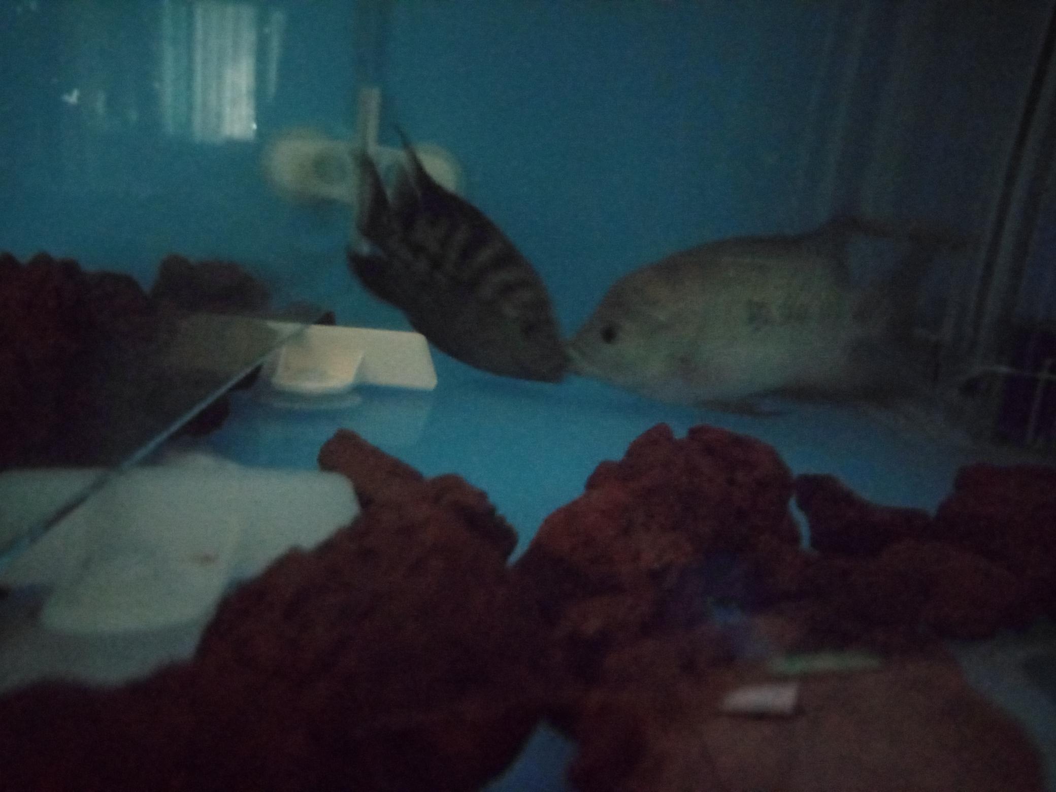 自繁金花记录罗汉鱼 合肥观赏鱼 合肥龙鱼第4张
