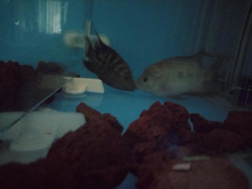 自繁金花记录罗汉鱼 合肥观赏鱼 合肥龙鱼第28张