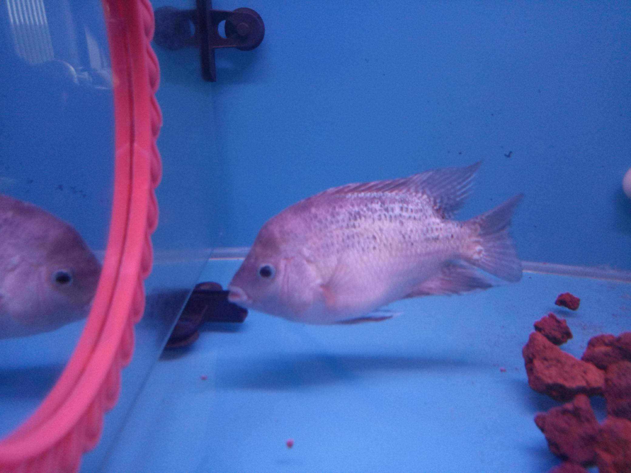自繁金花记录罗汉鱼 合肥观赏鱼 合肥龙鱼第6张