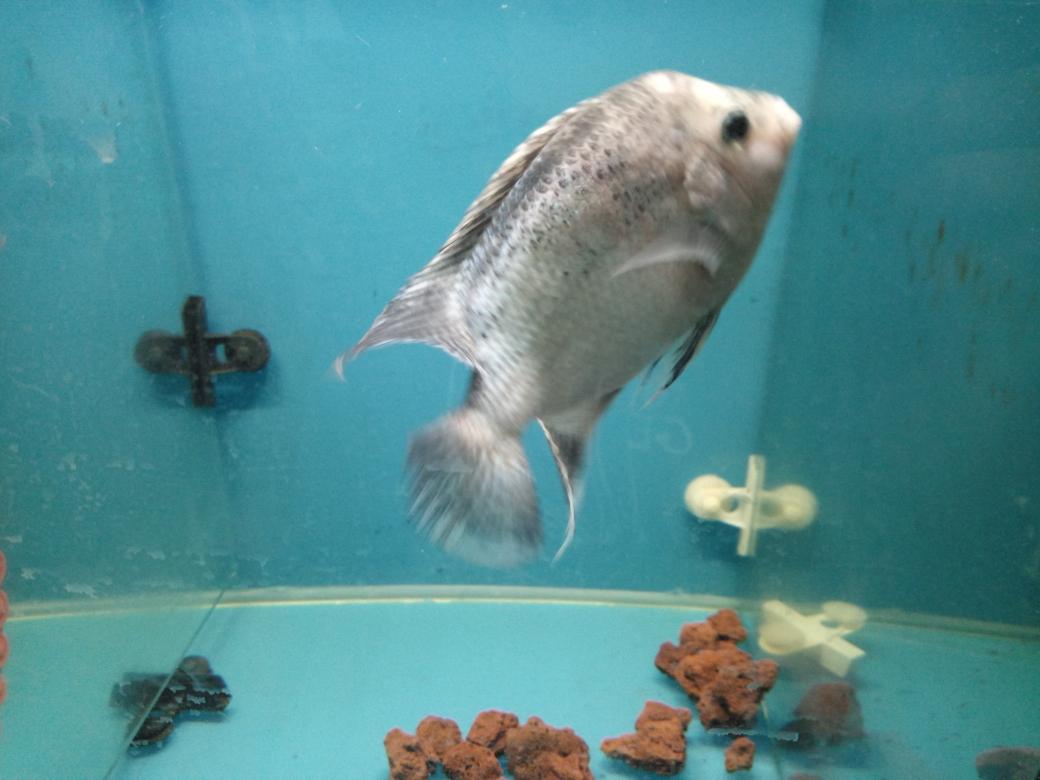 自繁金花记录罗汉鱼 合肥观赏鱼 合肥龙鱼第32张