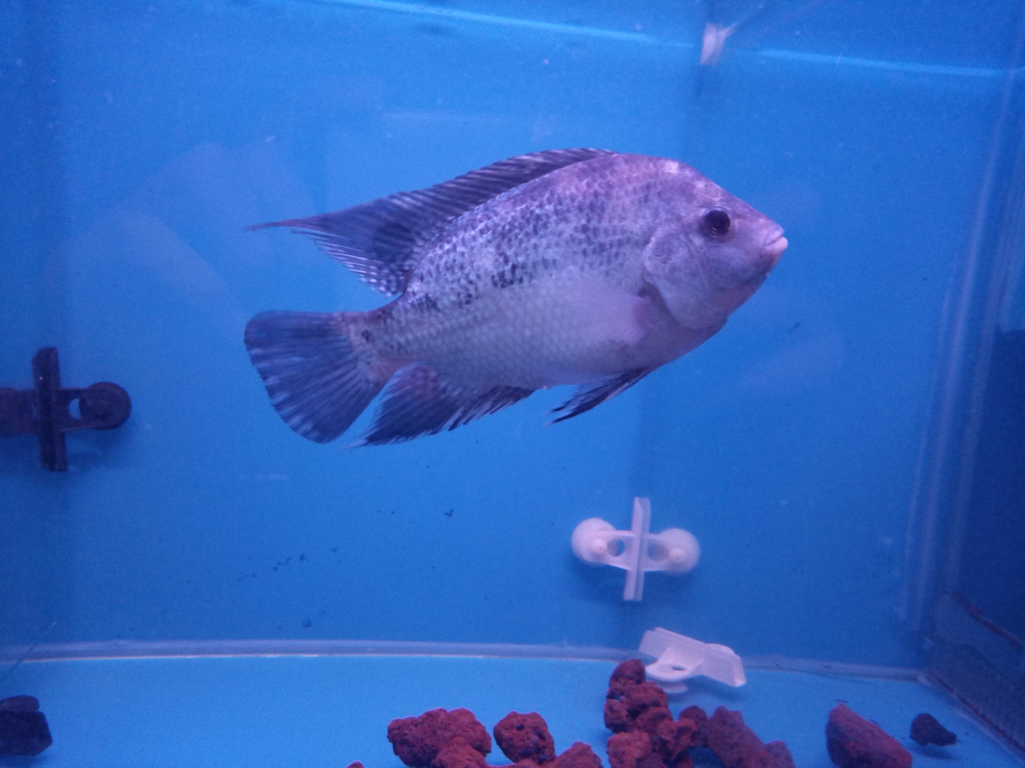 自繁金花记录罗汉鱼 合肥观赏鱼 合肥龙鱼第7张