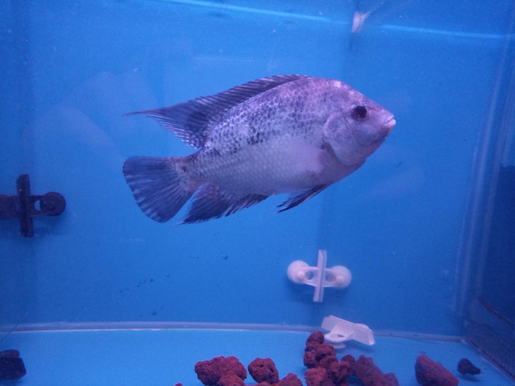 自繁金花记录罗汉鱼 合肥观赏鱼 合肥龙鱼第31张