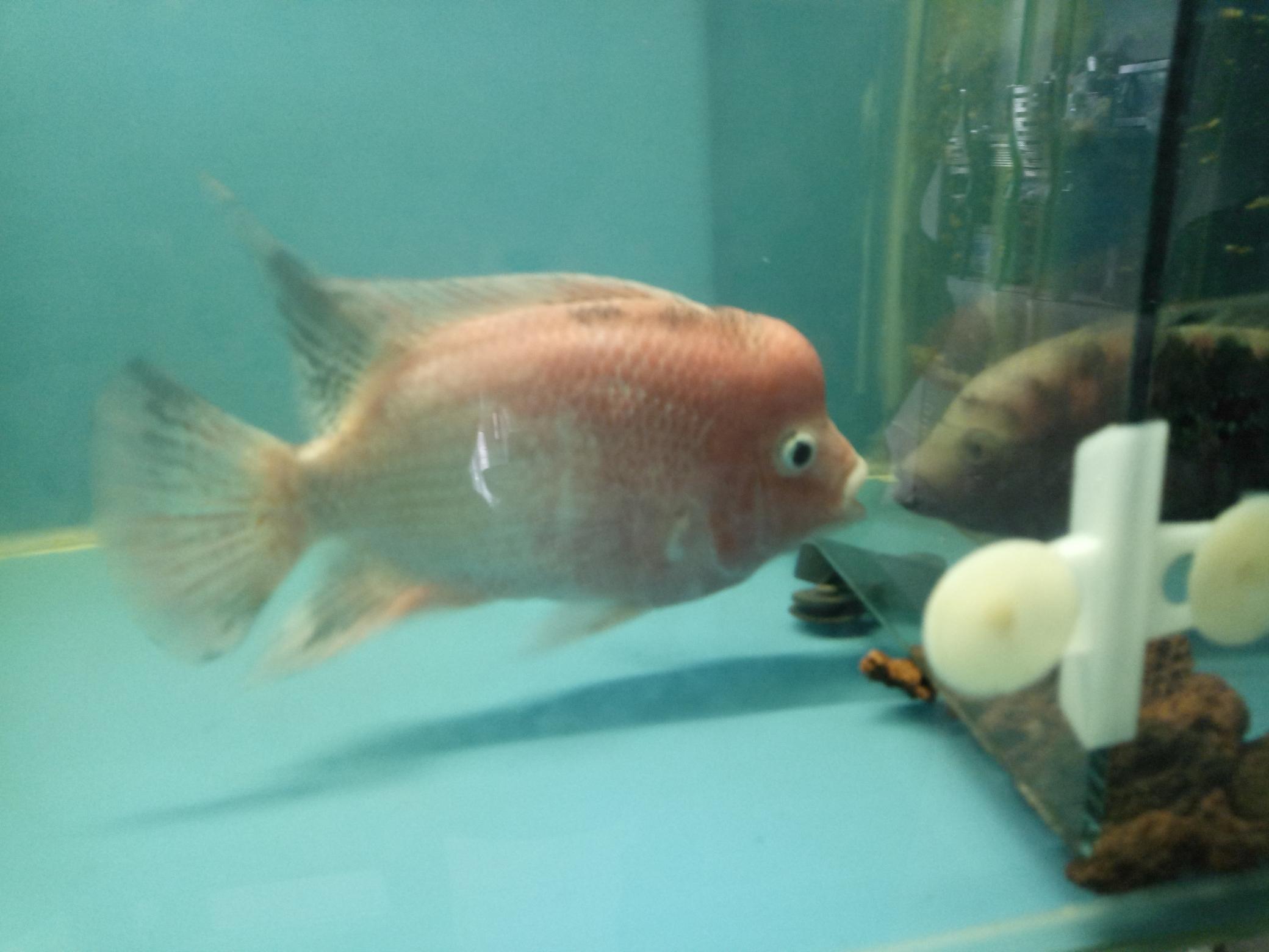 自繁金花记录罗汉鱼 合肥观赏鱼 合肥龙鱼第14张