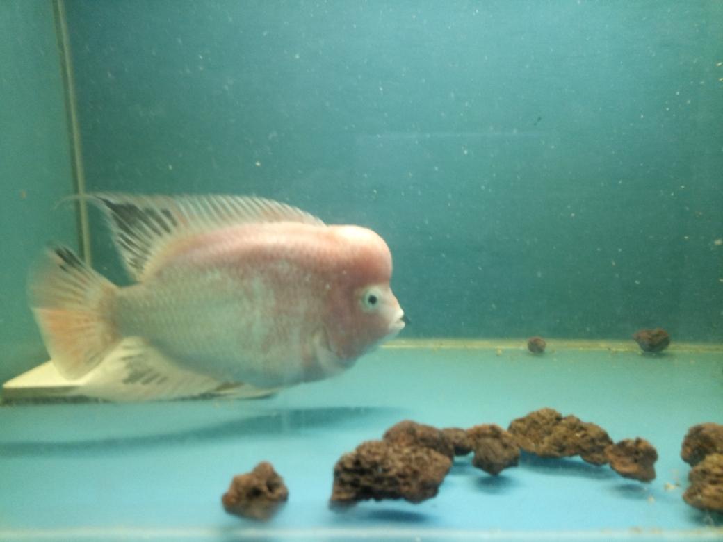 自繁金花记录罗汉鱼 合肥观赏鱼 合肥龙鱼第40张