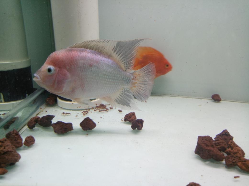 自繁金花记录罗汉鱼 合肥观赏鱼 合肥龙鱼第37张