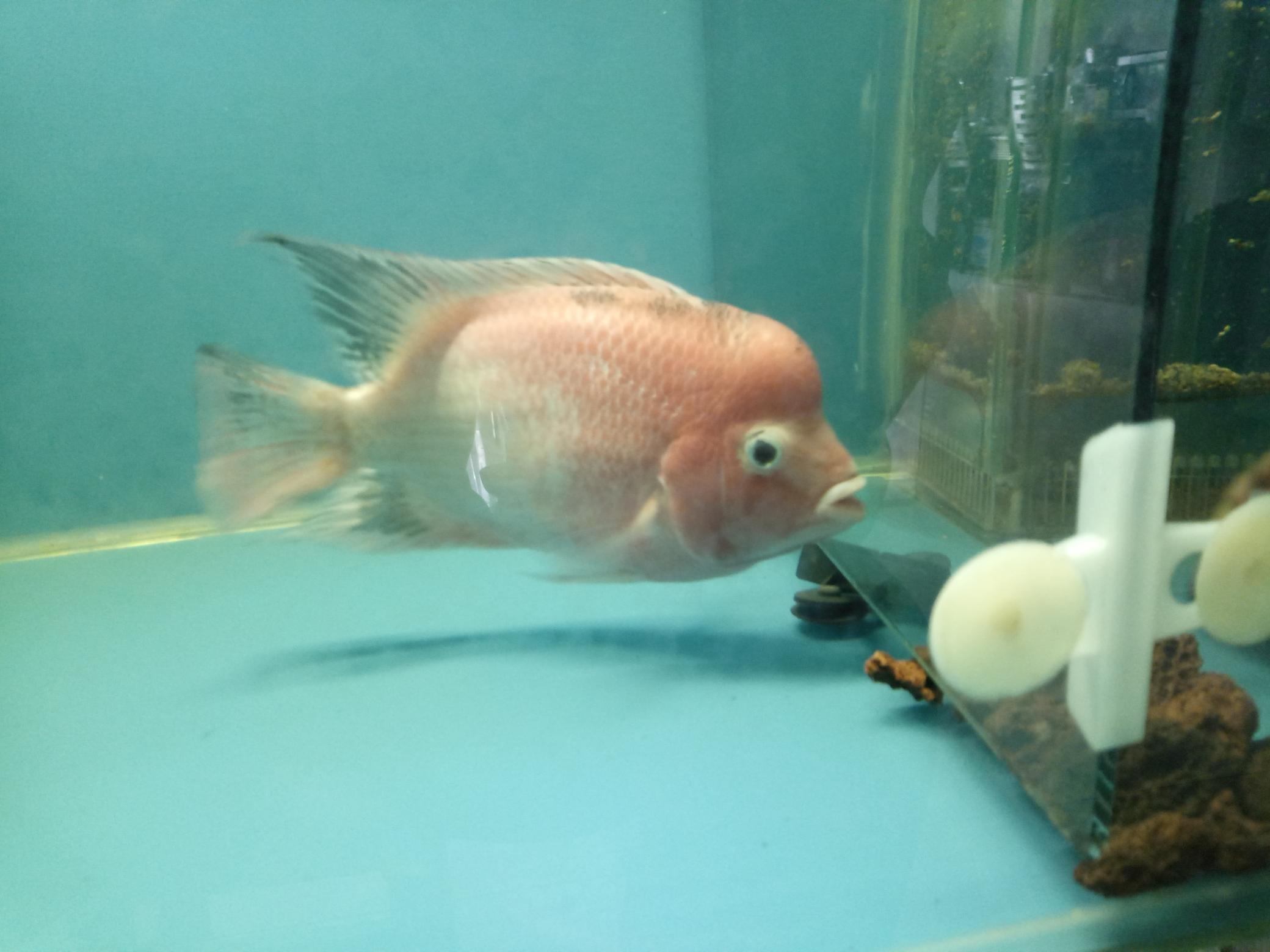 自繁金花记录罗汉鱼 合肥观赏鱼 合肥龙鱼第15张