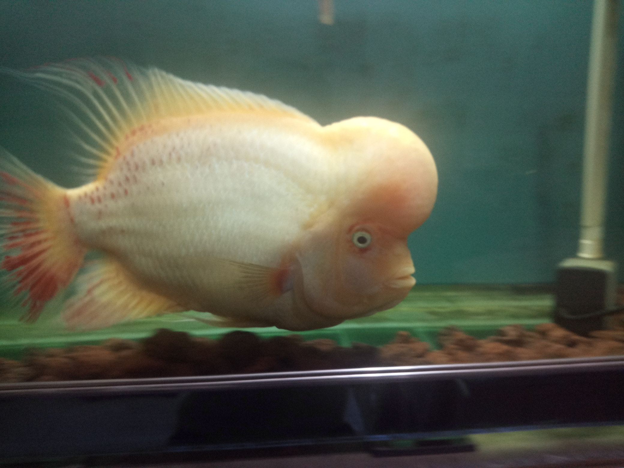 自繁金花记录罗汉鱼 合肥观赏鱼 合肥龙鱼第23张