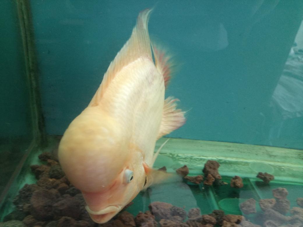 自繁金花记录罗汉鱼 合肥观赏鱼 合肥龙鱼第44张