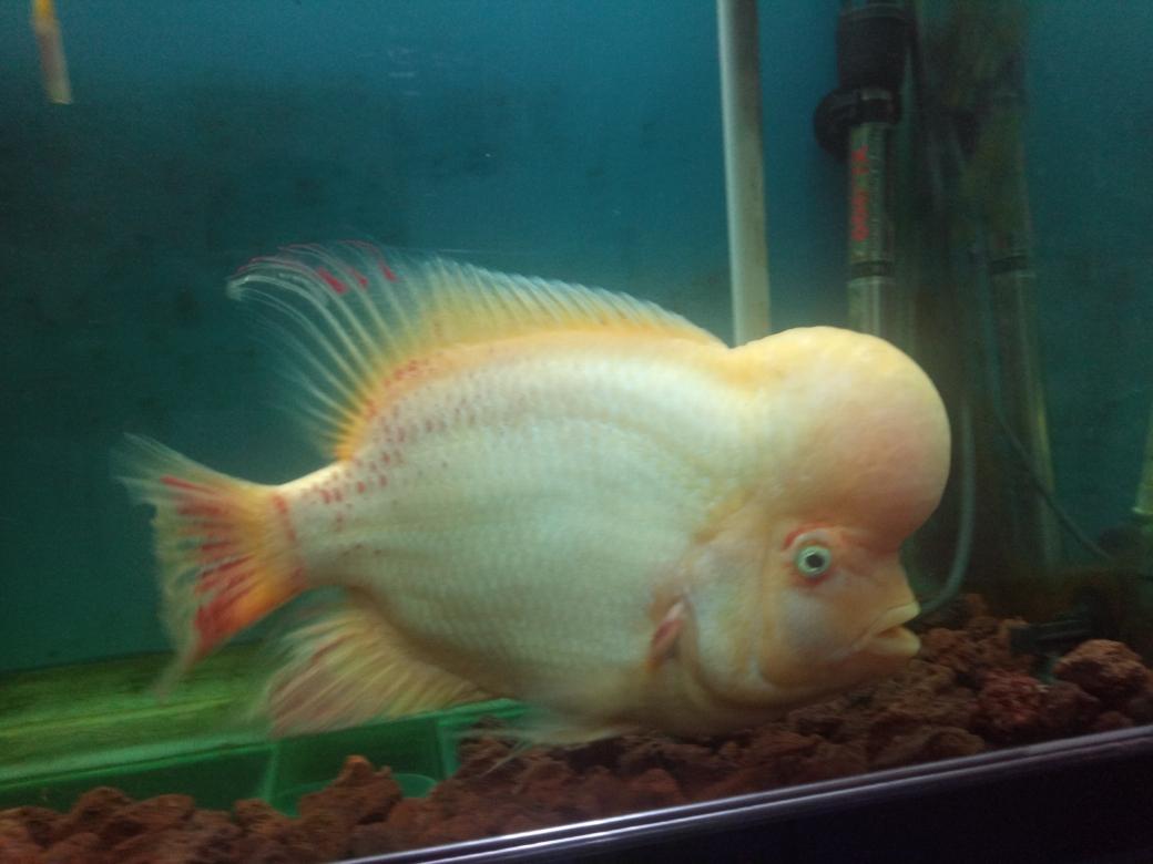 自繁金花记录罗汉鱼 合肥观赏鱼 合肥龙鱼第45张