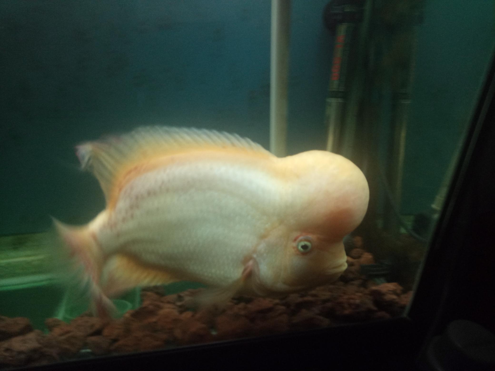 自繁金花记录罗汉鱼 合肥观赏鱼 合肥龙鱼第22张