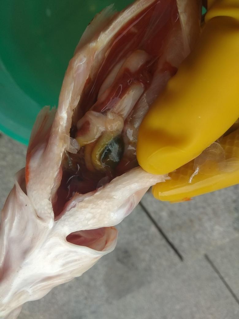 昨天小白化龙了我想知道它因为什么离开了 温州水族批发市场 温州龙鱼第4张