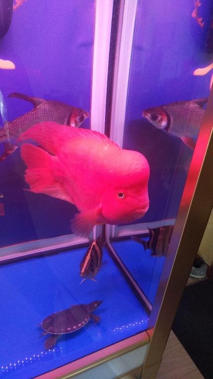 吉林最大鱼缸例行换水中鹦鹉鱼 吉林观赏鱼