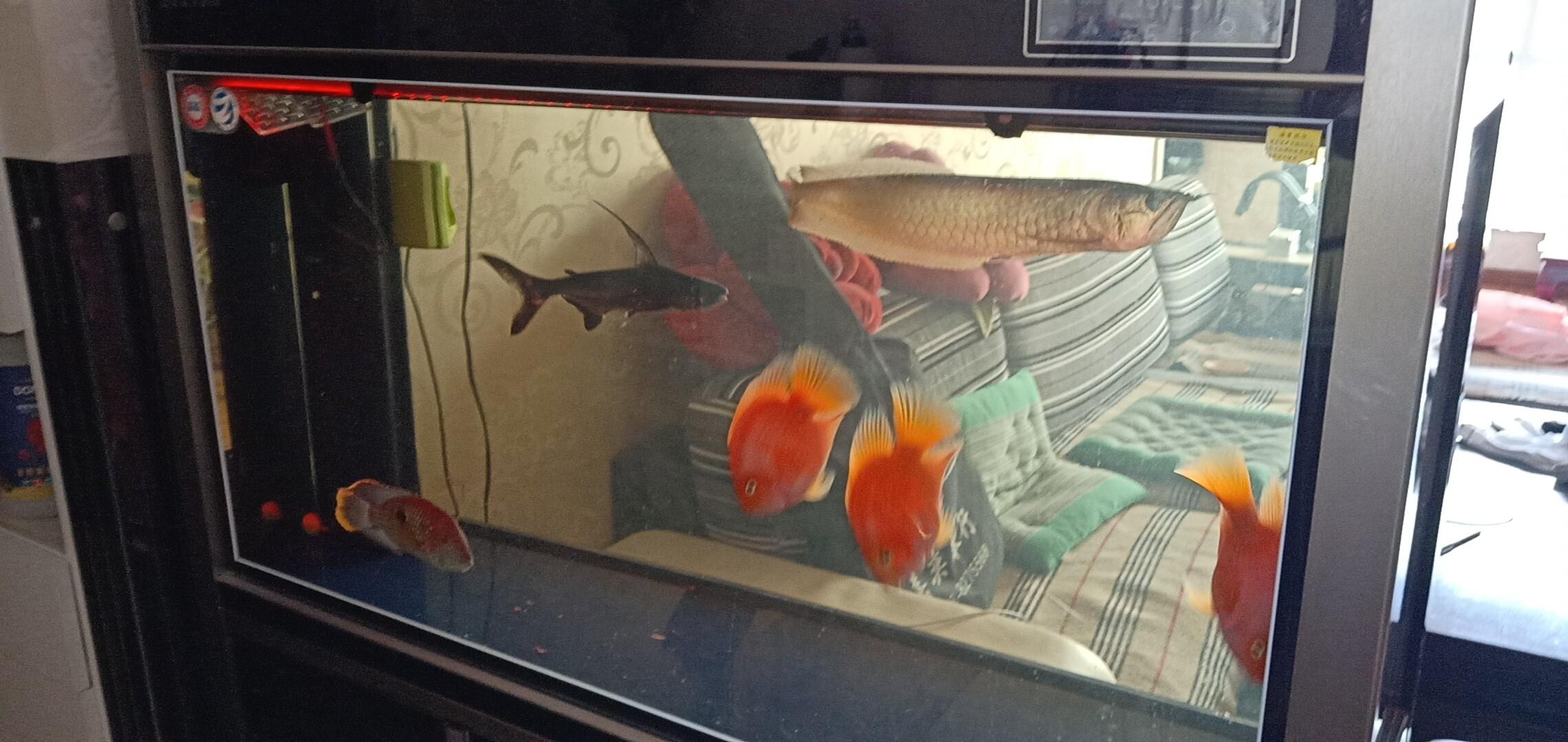 新手养银龙怎么养教教我 哈尔滨龙鱼论坛 哈尔滨龙鱼第1张