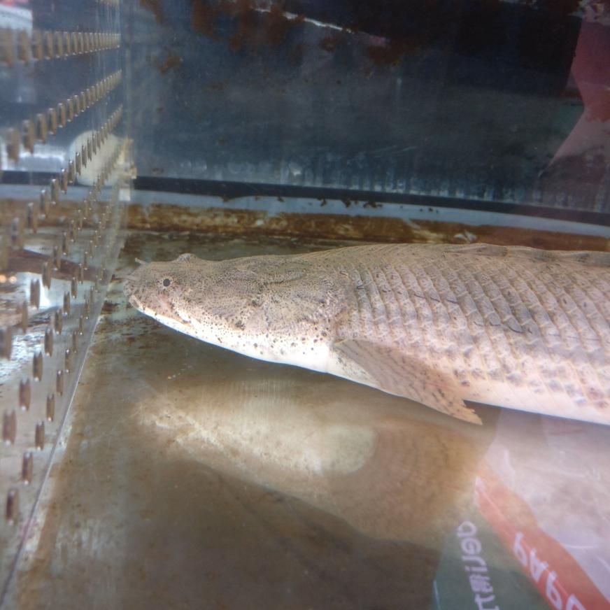 肥肠和瘦肠猛鱼 杭州水族批发市场 杭州龙鱼第4张