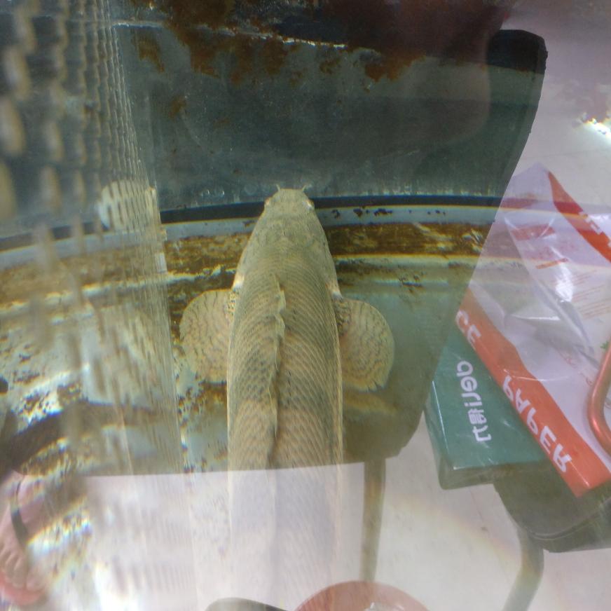 肥肠和瘦肠猛鱼 杭州水族批发市场 杭州龙鱼第6张