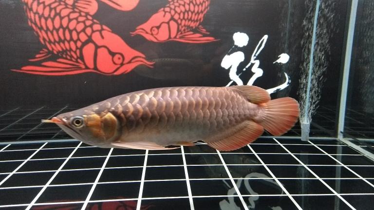 周末分享龙鱼 南京水族批发市场 南京龙鱼第1张