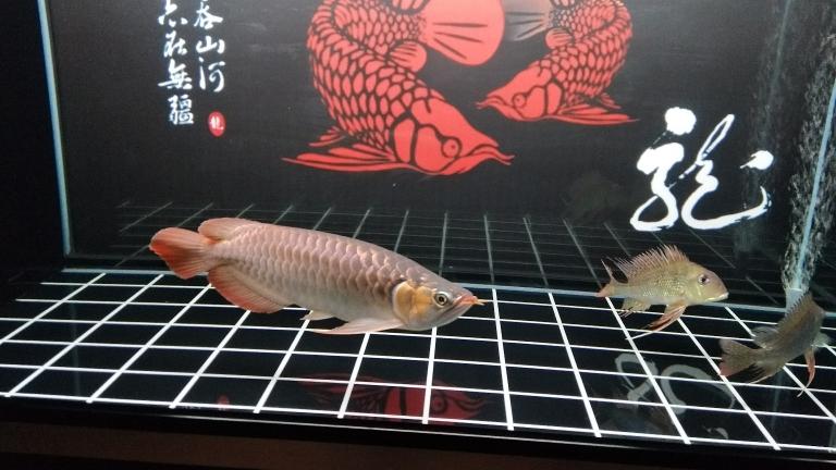 周末分享龙鱼 南京水族批发市场 南京龙鱼第2张