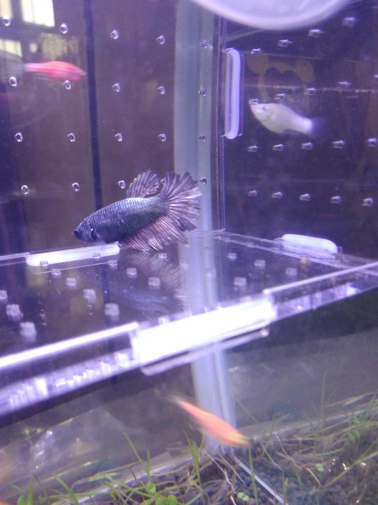 母斗可繁殖了吗 哈尔滨龙鱼论坛 哈尔滨龙鱼第2张
