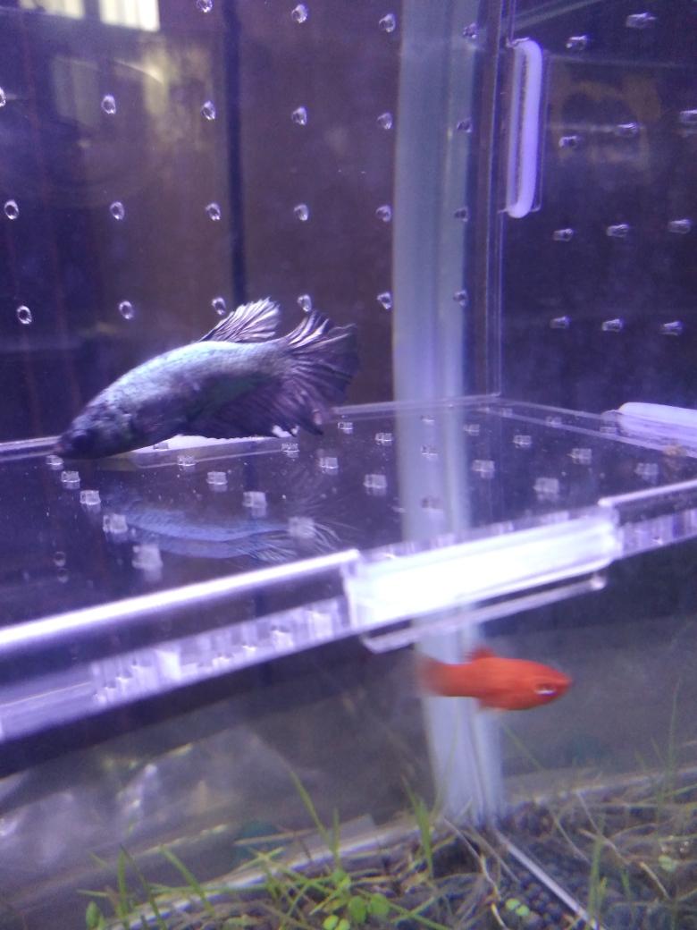 母斗可繁殖了吗 哈尔滨龙鱼论坛 哈尔滨龙鱼第1张