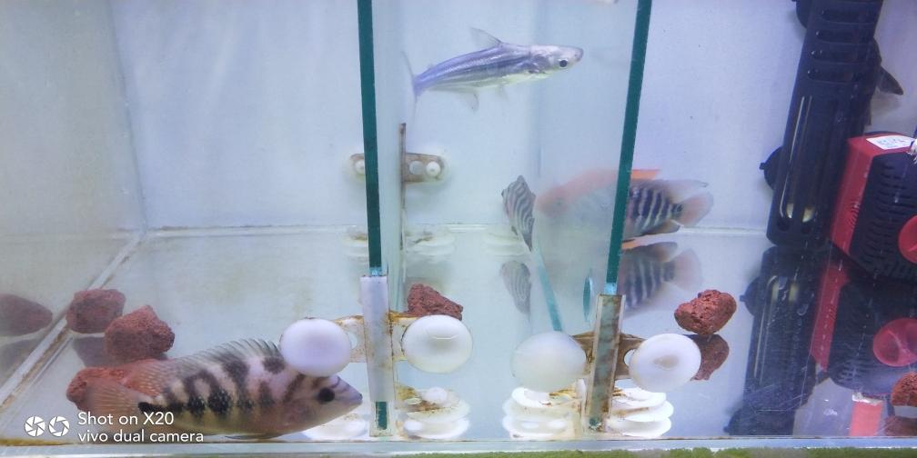达州哪个水族店有直纹飞凤鱼新手求救罗汉鱼 达州龙鱼论坛