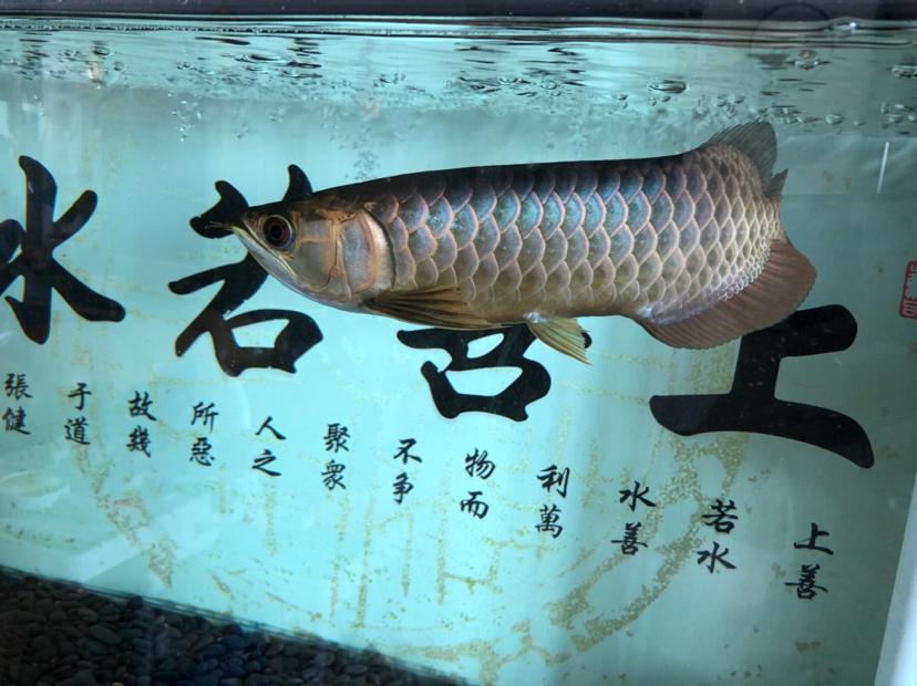 鳃盖发色?龙鱼 吉林龙鱼论坛 吉林龙鱼第2张