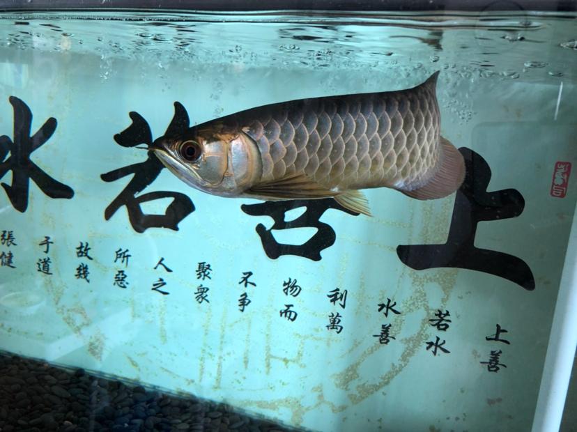 鳃盖发色?龙鱼 吉林龙鱼论坛 吉林龙鱼第3张