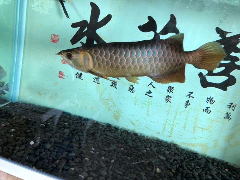 鳃盖发色?龙鱼 吉林龙鱼论坛 吉林龙鱼第7张