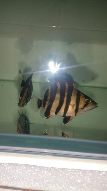 我的爱虎虎鱼 南京水族批发市场 南京龙鱼第5张
