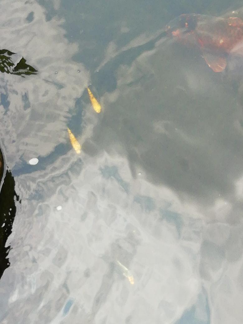 蓝色的锦鲤?锦鲤南京花鸟批发市场 南京龙鱼论坛 南京龙鱼第5张