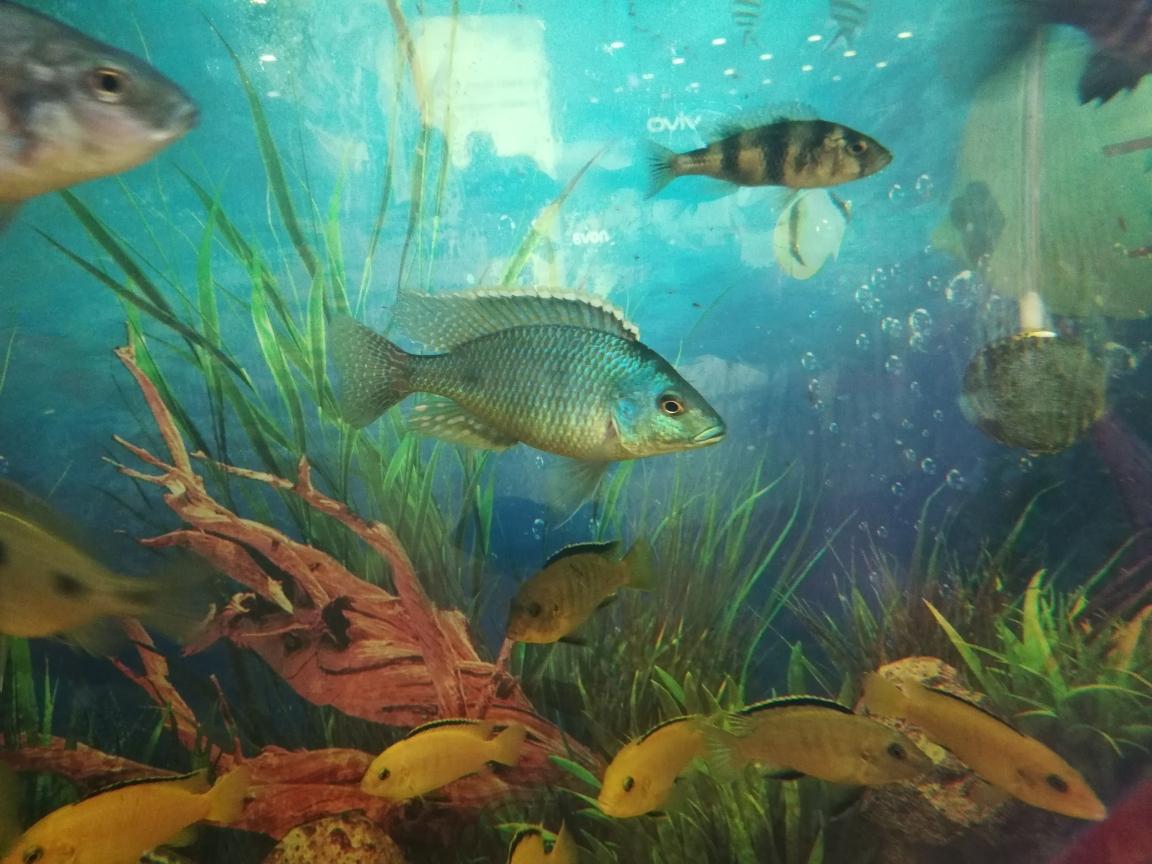 最近宁波伊巴卡鱼的天气鹦鹉鱼 宁波观赏鱼 宁波龙鱼第2张