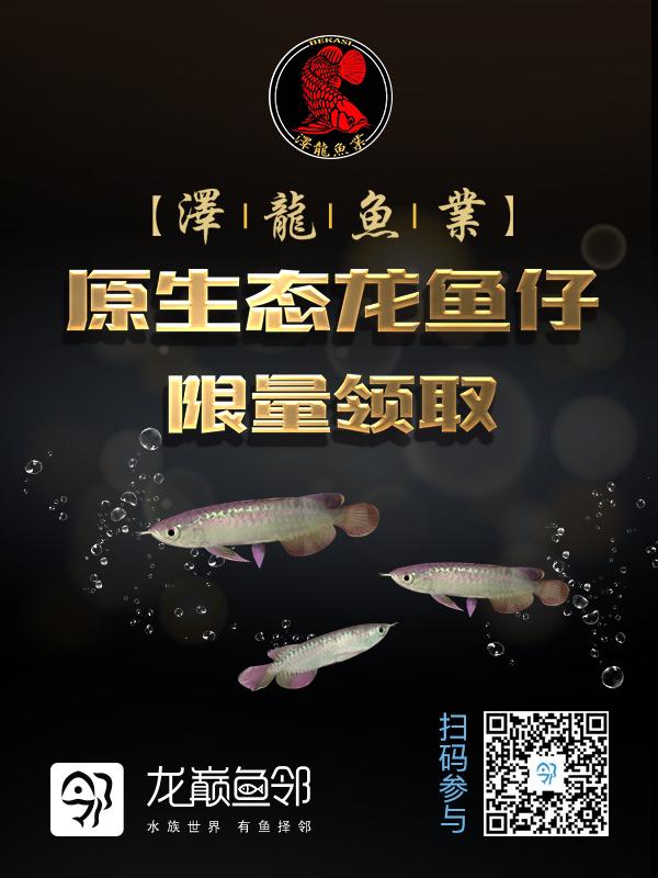 原生态龙鱼仔限量领取起起 渭南龙鱼论坛 渭南龙鱼第1张