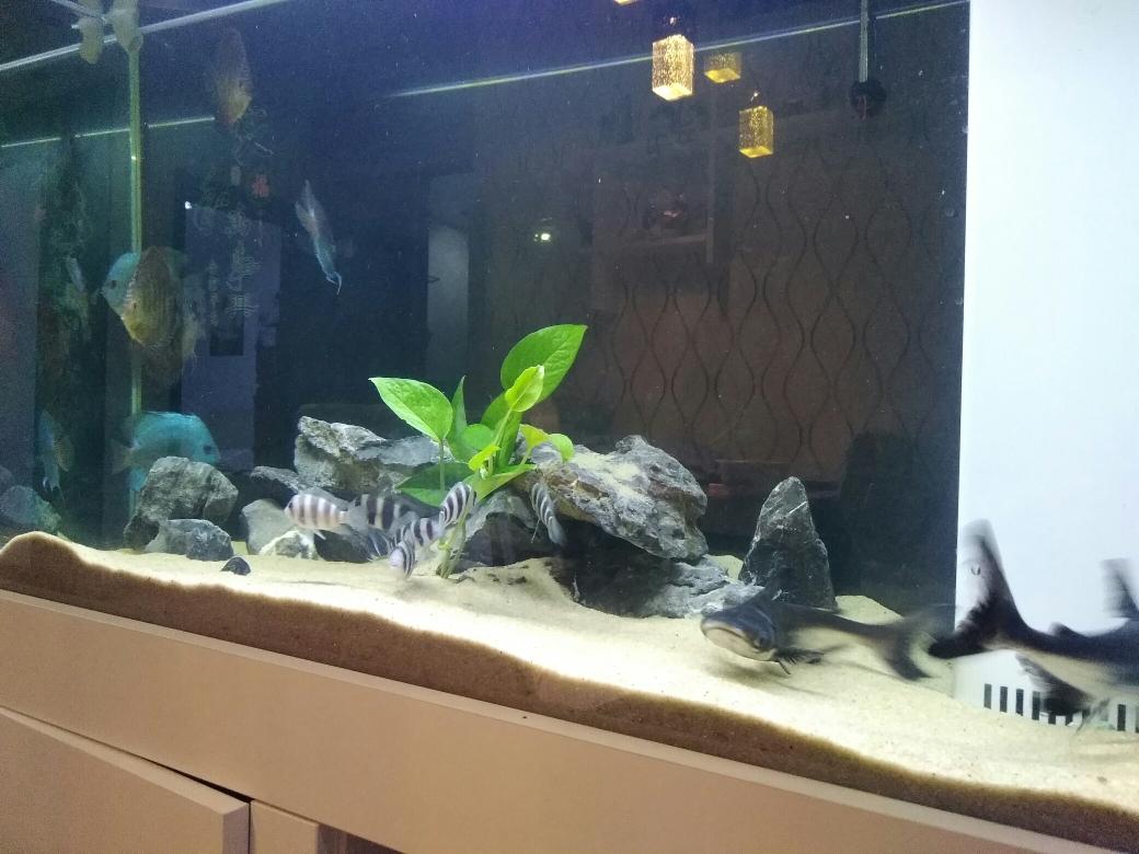 沈阳狗仔鲸(红尾猫)价格混养鱼种混养 沈阳龙鱼论坛 沈阳龙鱼第1张